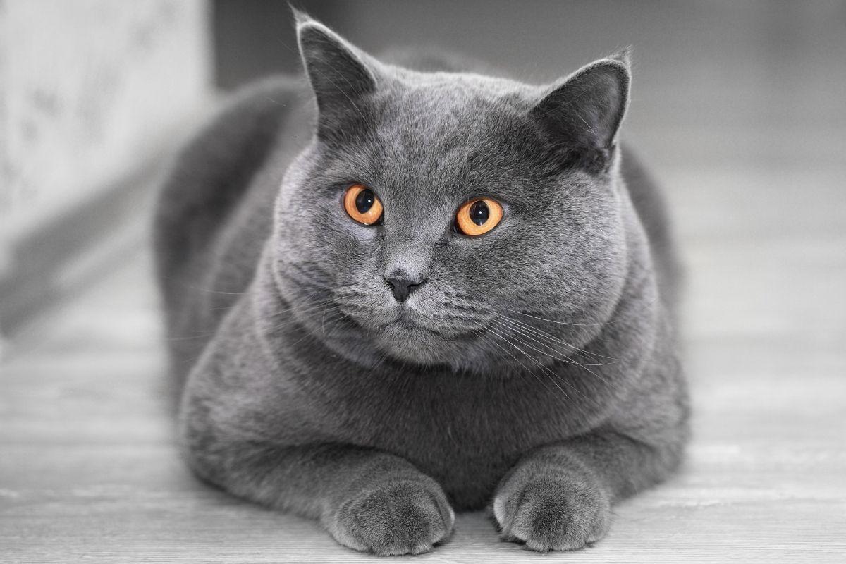 kot brytyjski dla starszej osoby